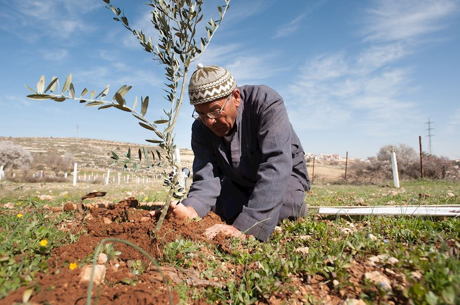 Plantez un olivier
